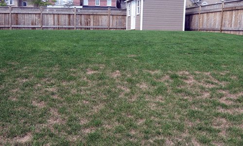 This is an image of Chinch Bug Damage Lawn