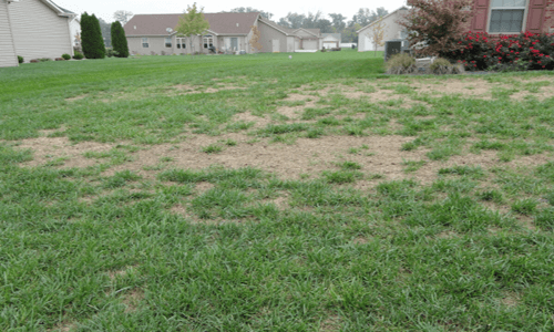 This is an image of Grub Damage Lawn