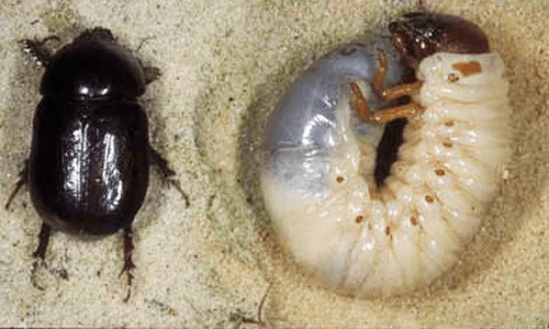 This is an image of Japanese Beetle Grub larva