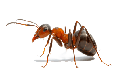 This is an image of an ant