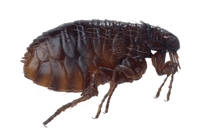 This is an image of a flea