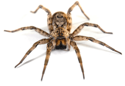 This is an image of a wolf spider