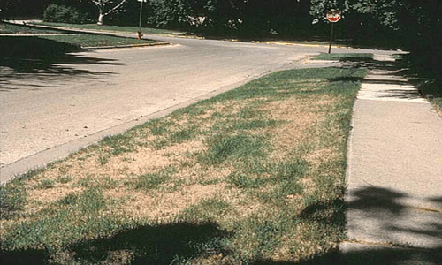 This is an image of sod webworm lawn damage