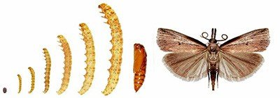 The Life Cycle of Sod Webworm