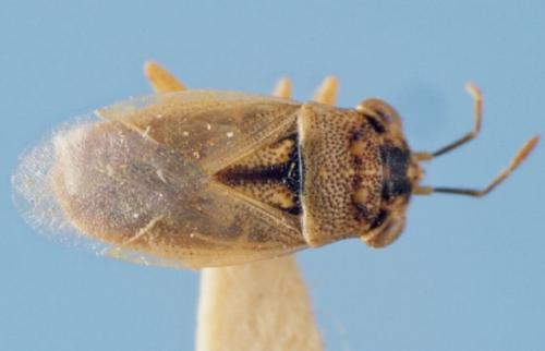 big eyed bug