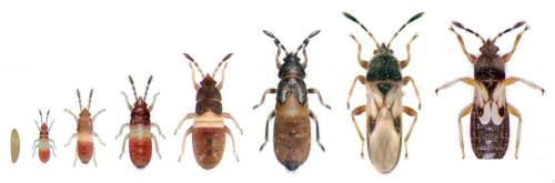 Chinch Bug Life Stages
