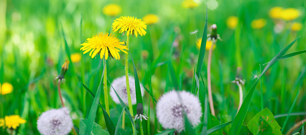 A Closeup Picture Of Weeds On A Lawn