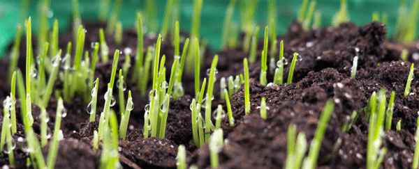 This Is An Image Of Grass Seedlings