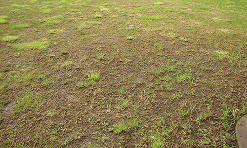 This is an image of a damaged lawn caused by Crane Flies.