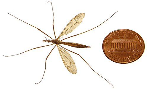 This is a picture of an adult crane fly