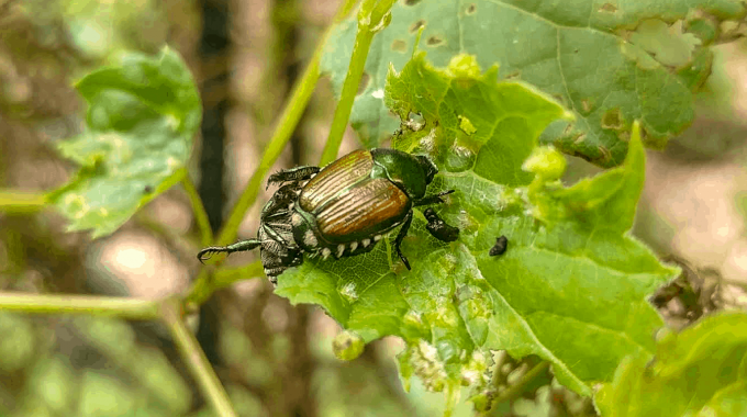 Japanese Beetle: Tips For Your Lawn