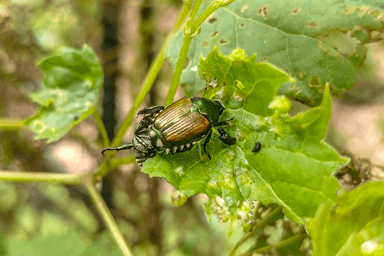 Here Is An Image Of An Adult Japanese Beetle