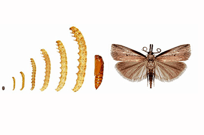 Here Is A Picture Of The Life Stages Of A Sod Webworm