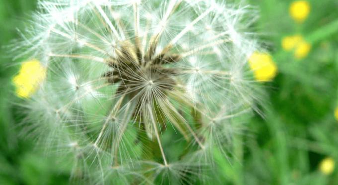 Dandelion Defendor