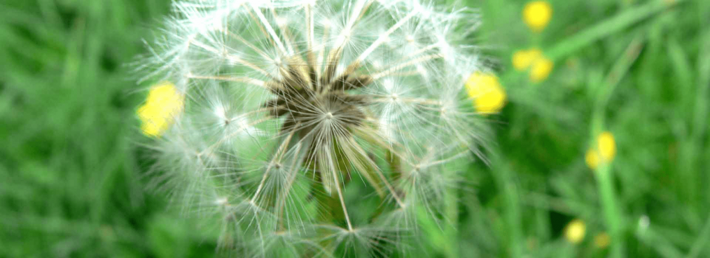 This My Fertilizing Companys Dandelion Defendor Cover Pic